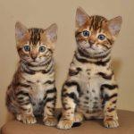 Gato Bengal – Preço