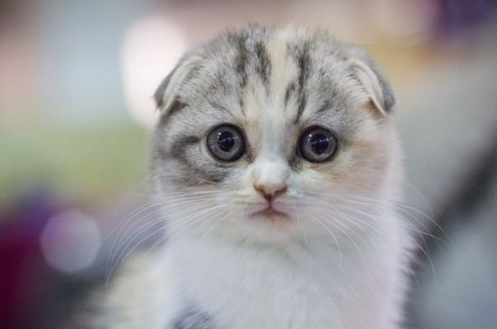 Gato Scottish Fold - Preço