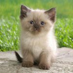 Gato Himalaio – Características e Preço