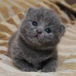 Gato Azul Russo – Características e Preço
