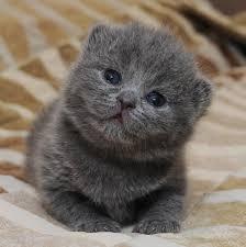 Gato Azul Russo - Preço