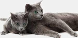 Gato Azul Russo - Quanto custa