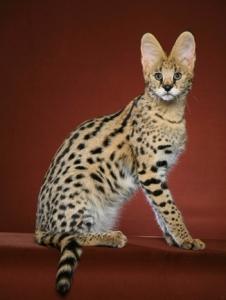 gato savannah -Quanto custa