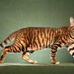 Gato Toyger – Características e Preço