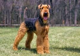 Airedale Terrier - Quanto custa