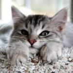 Gato Siberiano – Preço