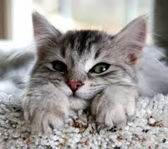 Gato Siberiano - Preço