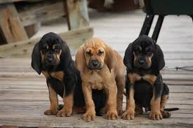 Bloodhound - Quanto custa