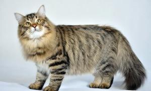 Gato Siberiano - Quanto custa