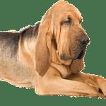 Bloodhound – Preço