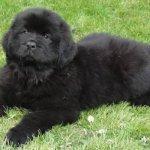Cachorro Terra Nova – Preço
