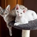 Gato Devon Rex – Preço