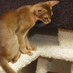 Gato Abissínio – Preço, características
