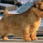 Quanto Custa Um Cachorro Norfolk Terrier?