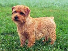 Norfolk Terrier - Quanto custa