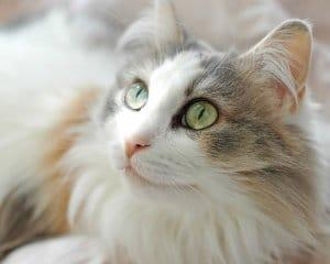 Gato Ragamuffin - Preço