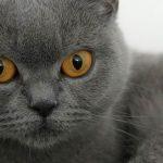 Gato de Pelo Curto Inglês – Preço