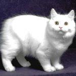 Gato Cymric: Preço, características