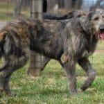 Irish Wolfhound – Preço