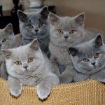 Gato British Shorthair – Preço, características