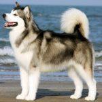 Quanto Custa Um Husky Siberiano? Preço