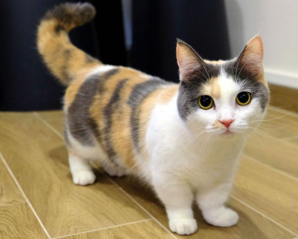 Gato Munchkin Quanto Custa