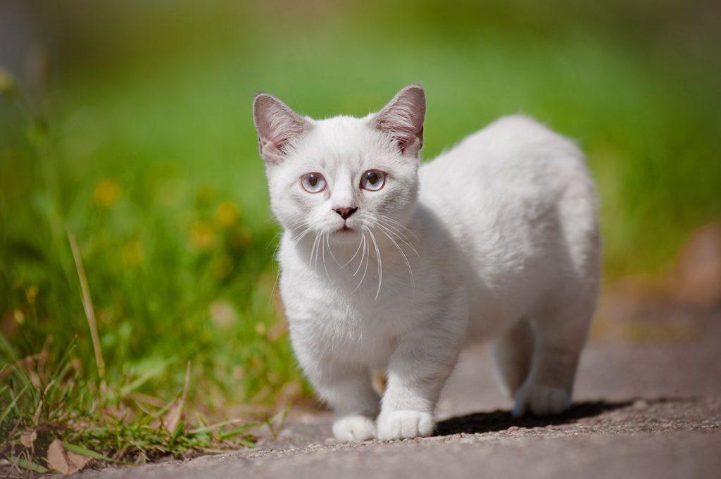 Gato Munchkin Preço