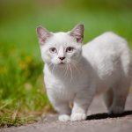 Gato Munchkin – Preço, Informações, Características